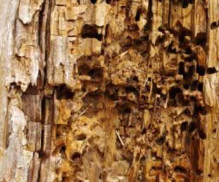 Abate Woodworm